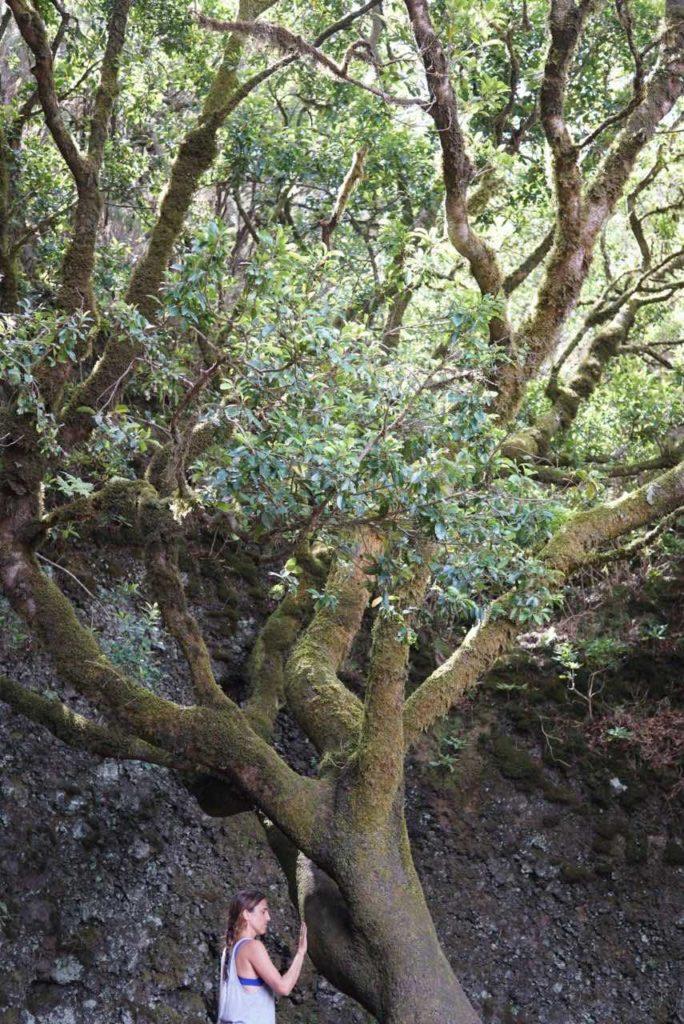 Árbol Garoé El Hierro