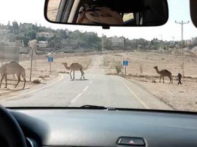 Camellos cruzando la carretera en Israel