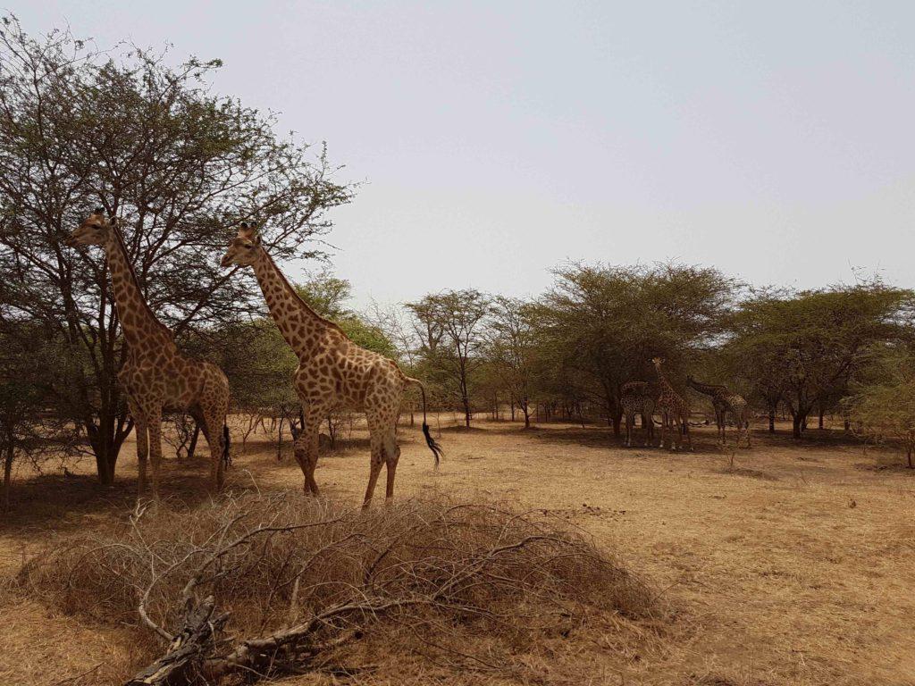 Jirafas en Reserva Natural de Bandia