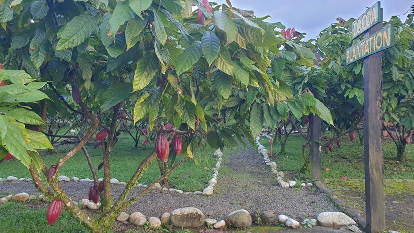 Qué ver en Costa Rica: Plantación de cacao