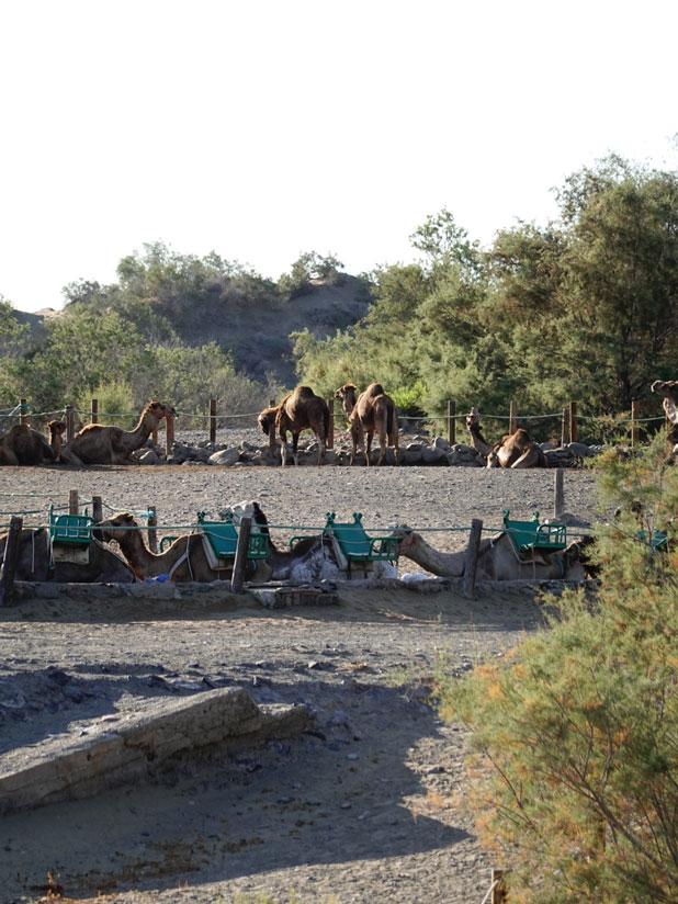 Camellos en Maspalomas, Gran Canaria