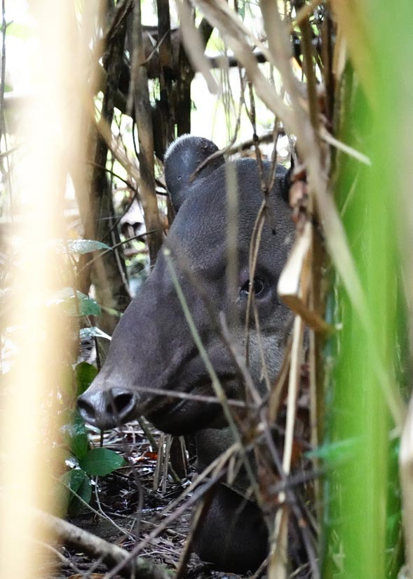 Tapir in Corcovado, things to do in Costa Rica