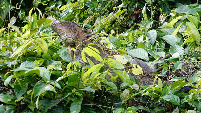 Iguana in Tortuguero, things to do in Costa Rica