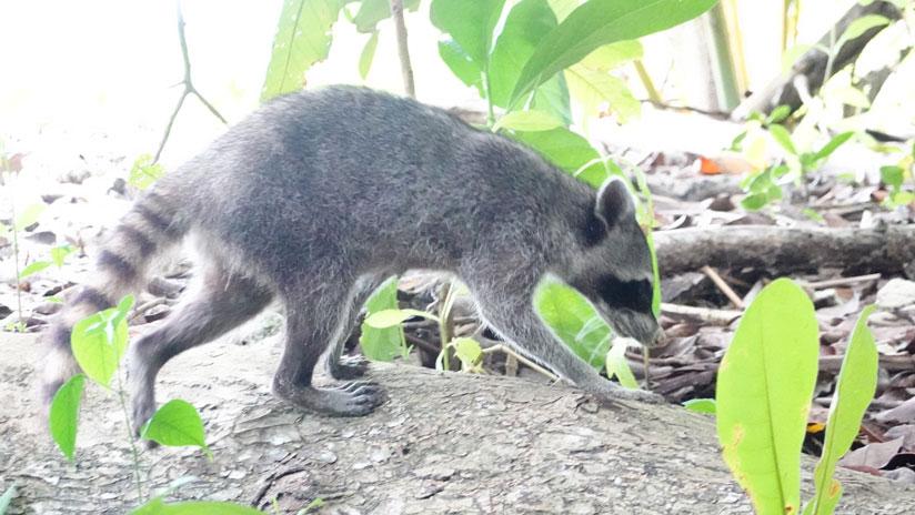 Raccoon at Cahuita