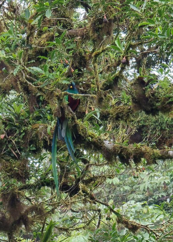 Quetzal in Monteverde: things to do in Costa Rica