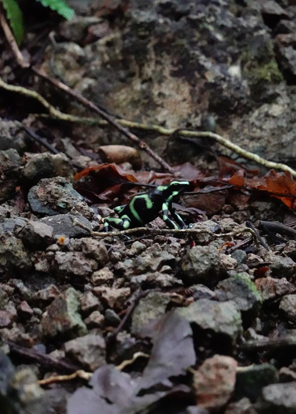 rana verde y negra venenosa costa rica