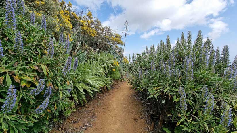 ruta tajinaste azul gran canaria